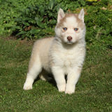 Beautiful siberian husky standing in the garden Royalty Free Stock Photo