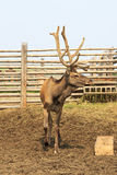 Beautiful Siberian stag with large antlers. Royalty Free Stock Photos