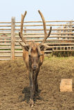 Beautiful Siberian stag with large antlers. Altai. Russia Stock Images