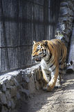 Beautiful Siberian tiger in a cage. Stock Image