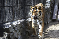 Beautiful Siberian tiger in a cage. Stock Images