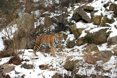 Beautiful Siberian Tiger in the snow Stock Photography