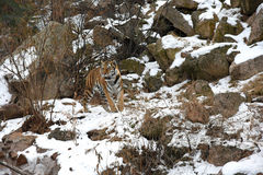 Beautiful Siberian Tiger in the snow Royalty Free Stock Photo