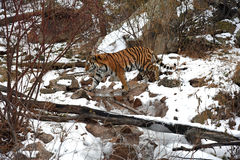 Beautiful Siberian Tiger in the snow Royalty Free Stock Photography