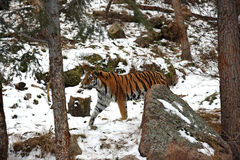 Beautiful Siberian Tiger in the snow Royalty Free Stock Images