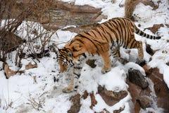 Beautiful Siberian Tiger in the snow Stock Photos