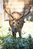 Beautiful sika deer with large antlers. Novosibirsk Zoo. Russia Royalty Free Stock Photography