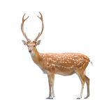 Beautiful sika deer. Beautiful male sika deer isolated on white background Stock Image