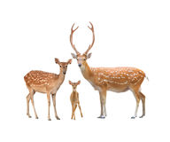 Beautiful sika deer. Beautiful male sika deer isolated on white background Stock Photography
