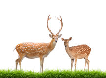 Beautiful sika deer. Beautiful male sika deer isolated on white background Royalty Free Stock Photos