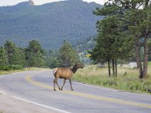 Beautiful Sika Deer Rocky crossing the road at Mountain National Royalty Free Stock Photography