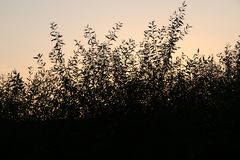 Silhouette of a branch of willow leaves against the background of an orange sunset stock photo