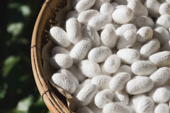 Beautiful Silk Cocoons White closeup royalty free stock image