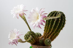 Beautiful silky pink blossoming cactus Royalty Free Stock Images
