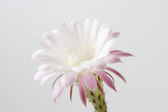 Beautiful silky pink blossoming cactus flower Royalty Free Stock Photo