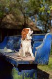 Beautiful and silly Cavalier King Charles Spaniel young dog is sitting on vintage blue bench and sunbathing Royalty Free Stock Images