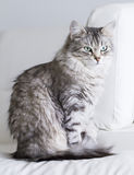 Beautiful silver cat of siberian breed in the house Royalty Free Stock Image