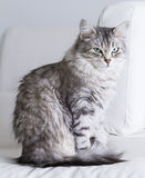 Beautiful silver cat of siberian breed in the house Stock Images