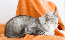 Beautiful silver cat of siberian breed in the house, lying on th Stock Image