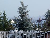 Beautiful silver color attractive pine tree in backyard with roofs stock images