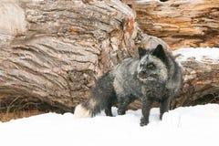 Beautiful silver fox Stock Image