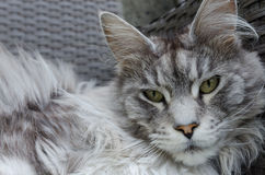 Beautiful silver pedigree maine coon cat Royalty Free Stock Image