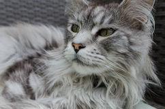 Beautiful silver pedigree maine coon cat Stock Photography