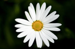 Beautiful Simple White Flower in the Garden Royalty Free Stock Images