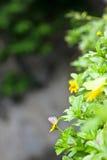 Beautiful Singapore dailsy flower (Melampodium divaricatum). Singapore daisy ,beautiful, beauty bloom blossom, botanical, botany, bright climbing climbing Royalty Free Stock Images