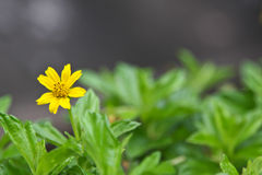 Beautiful Singapore dailsy flower (Melampodium divaricatum) Royalty Free Stock Photography