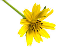 Beautiful Singapore daisy flower Stock Images