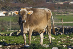 Beautiful single cow in the free campaign Stock Photography