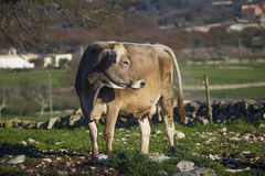 Beautiful single cow in the free campaign Royalty Free Stock Image