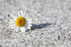 Beautiful single daisy Stock Photos