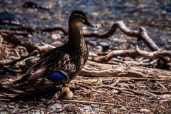 Beautiful single duck on shore with duckling stock photos