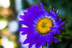 Beautiful single  flower asters. Abstract background. Space in background for copy, text, your words Stock Photography