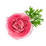Beautiful single flower head of pink ranunculus Stock Image