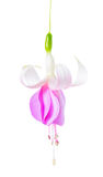 Beautiful single flower of white and lilac fuchsia is isolated o. N white background, `Holly`s Beauty`, closeup Royalty Free Stock Photo