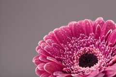Beautiful single gerbera daisy flower head in water drops closeup. Greeting card for birthday, mother or womans day. Stock Images