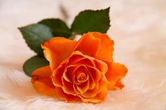Beautiful, single orange rose shining at our eyes. Beautiful big orange rose shining at us. Luxury rose to your valentine stock image