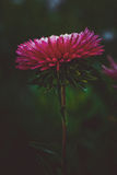 Beautiful single  Pink flower asters. Abstract dark background. Space in background for copy, text, your words. Beautiful single  Pink flower asters. Abstract Stock Images