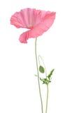 Beautiful single pink poppy Royalty Free Stock Photo
