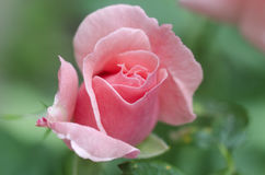 Beautiful single pink rose on a green background.  royalty free stock images