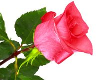 Beautiful single  pink roses . Stock Photos