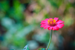 Beautiful single pink Zinnia flower top view in summer garden (Z Stock Photography