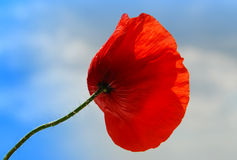 Beautiful single Poppy Royalty Free Stock Photos