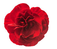Closeup of single red carnation Stock Image