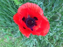 Beautiful Single Red Poppie Outdoors. Large brilliant Red Single Poppie. Green foliage in background. Delicate petals Royalty Free Stock Image
