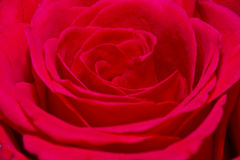 Beautiful single red rose Stock Photo