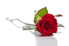 Beautiful single red rose lying down. On a white background Stock Images